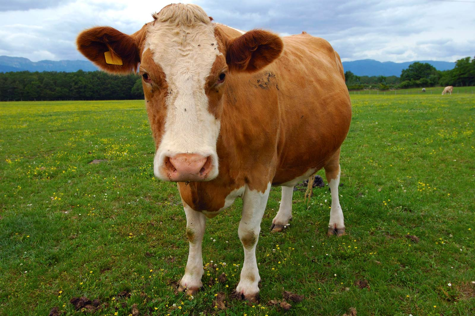 brown-Guernsey-cow